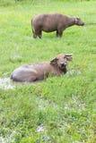 Buffalo στον τομέα χλόης Στοκ Εικόνα