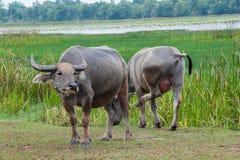 Buffalo στους πράσινους τομείς Στοκ Εικόνες