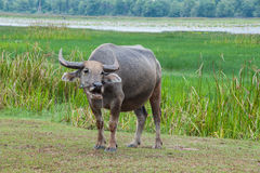 Buffalo στους πράσινους τομείς Στοκ φωτογραφία με δικαίωμα ελεύθερης χρήσης