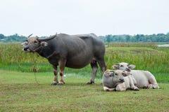 Buffalo στους πράσινους τομείς Στοκ εικόνα με δικαίωμα ελεύθερης χρήσης