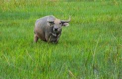 Buffalo στους πράσινους τομείς Στοκ Εικόνα