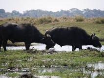 Buffalo στο εθνικό πάρκο Chobe Στοκ Εικόνες