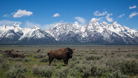 Buffalo στο μεγάλο εθνικό πάρκο Teton Στοκ Εικόνες