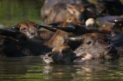 Buffalo στο νερό μια καυτή ημέρα Στοκ φωτογραφία με δικαίωμα ελεύθερης χρήσης