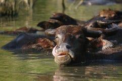 Buffalo στο νερό μια καυτή ημέρα Στοκ Φωτογραφία