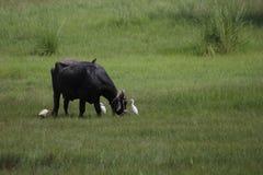 Buffalo στο Punjab στοκ φωτογραφίες