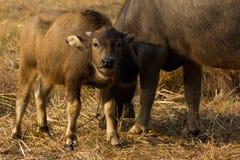 Buffalo της Ταϊλάνδης Buffalo σε έναν τομέα που τρώει την ξηρά χλόη Στοκ εικόνα με δικαίωμα ελεύθερης χρήσης