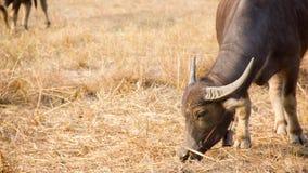 Buffalo της Ταϊλάνδης Buffalo σε έναν τομέα που τρώει την ξηρά χλόη Στοκ φωτογραφία με δικαίωμα ελεύθερης χρήσης
