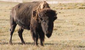 Buffalo 1. A buffalo bull in a field in Colorado gives the photographer the hairy eyeball Royalty Free Stock Image