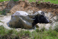 Buffalo 1 Royalty Free Stock Images