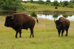 Buffalo Stock Image