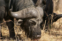 Buffalo. A male buffalo grazing in Africa Royalty Free Stock Photos