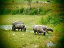Buffalo Στοκ Εικόνα