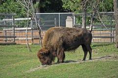 Free Buffalo Royalty Free Stock Image - 11058876