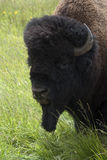 Buffalo Images stock