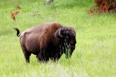 Buffalo Immagini Stock Libere da Diritti