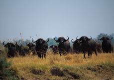Buffalo Royalty Free Stock Images