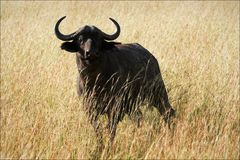 Buffalo. A dark buffalo in loneliness, against the field burned by the sun with a gold grass Stock Photo