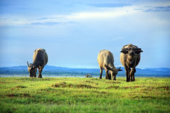 Buffalo. Herd graze the waterfront In the dam, Ubon Ratchathani, Thailand Stock Photo