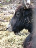 Buffalo. From the Wroclaw zoo stock photo