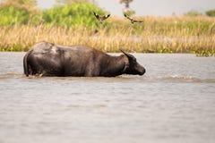 Buffalo 2 Fotografia Stock Libera da Diritti
