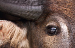 Buffalo. Closeup a beautiful eye of the buffalo Royalty Free Stock Photo