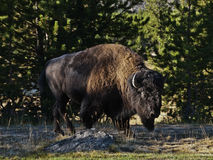Buffalo Stock Photos