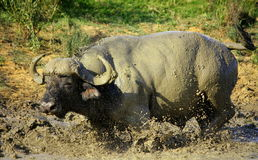 Buffalo. Wallowing and playing in the mud Stock Photo