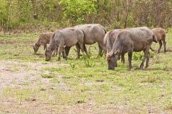 Buffalo. Water buffalo in a field, Thailand Stock Photo