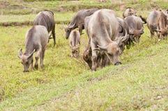 Buffalo. Water buffalo in a field, Thailand Stock Photos