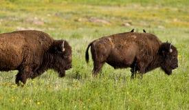 Buffalo. On range outside Lawton, Oklahoma royalty free stock photography