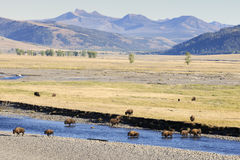 Buffalo. In landscape at Yellowstone Royalty Free Stock Image