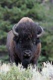 Buffalo Royalty Free Stock Photos