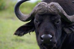 Buffalo fotografia stock