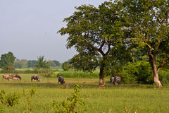 Buffalo. Rice field with buffalo and big tree in countryside Royalty Free Stock Images