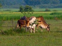 Buffalo. Rice field with buffalo and big tree in countryside stock photo