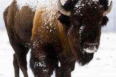 Buffalo. Adult American buffalo standing in the snow. A light dusting of snow accents buffalo's face Stock Images