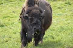 Buffalo. An american buffalo or Bisson, grazing in a field Stock Photos
