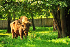 Buffalo. In nature reserve in Bialowieza, poland royalty free stock images