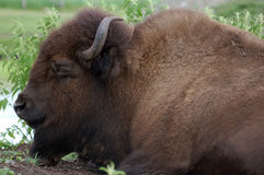Buffalo. Picture of a big Bison while he's sleeping Royalty Free Stock Photography