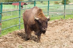 Buffalo. European bison in the zoo Stock Images