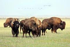 Buffalo Images stock