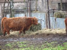 Buffalo 4. Buffalo in the Wroclaw zoo, agriculture royalty free stock photos