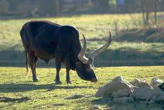 Buffalo. A buffalo in a zoo Royalty Free Stock Image