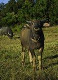 Buffalo Στοκ Φωτογραφίες