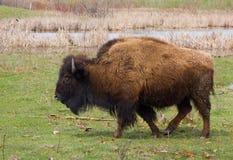 Buffalo. Wild buffalo or bison walking Stock Photography