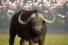 Buffalo. In front of a Nakuru lake in Kenya Stock Photos