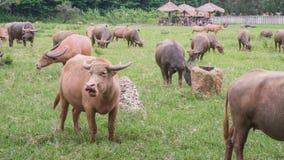 Buffalo Photo stock