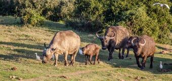 Buffalo Photos stock