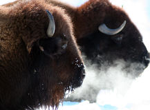 Buffalo. Pair of buffalo resting in the winter Royalty Free Stock Photos